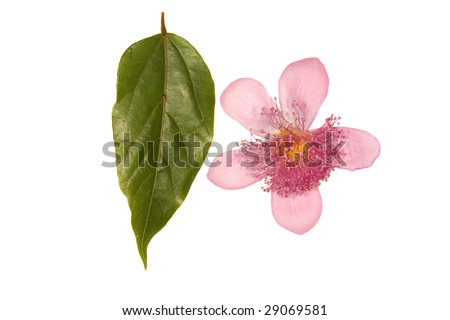 Flower and leaf of Achiote (Bixa orellana), source of Annatto dye - stock photo