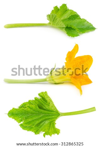 Flower and leaf of zucchini isolated on white background. Blossoms of courgettes. - stock photo