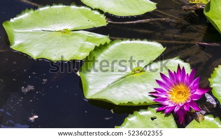Flower and nenufares in the water