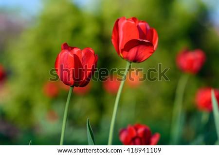 Flower background. Amazing red tulip flower & sunlight landscape. Flower. Red flower. Tulip flower. Cute flower. Color tulips flower. Colored flower. Sunny flower. natural flower Awesome flower Flower - stock photo