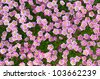 Flower background. Many small pink flowers grow on soil. - stock photo
