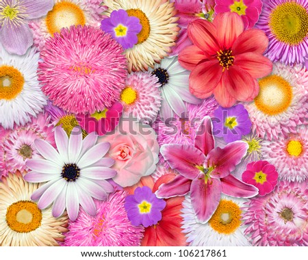 Flower Background Pink, Red, White Colors - Various Pink, Red, White Isolated Flowers. Selection of Strawflower, Clematis, Daisy, Dahlia, Primrose, English Daisy - stock photo