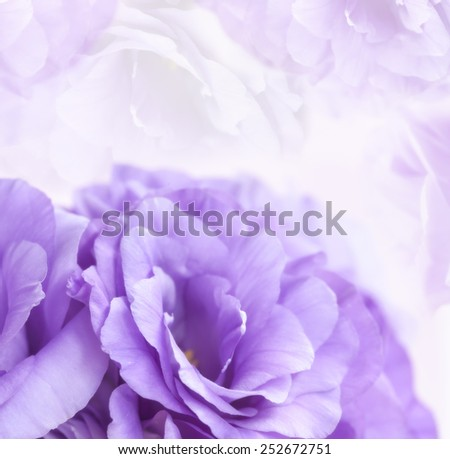 Flower background with violet eustoma or lisianthus. - stock photo