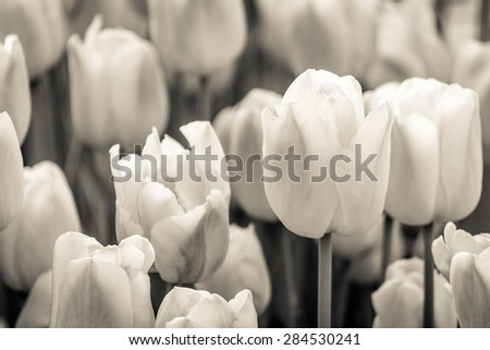 Flower bed. Black and white tulip photography. Tulip festival in Istanbul. - stock photo