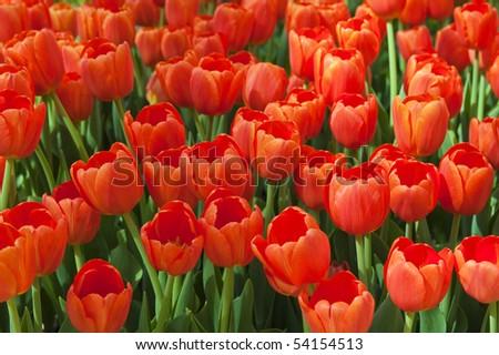Flower bed full of orange tulips - stock photo