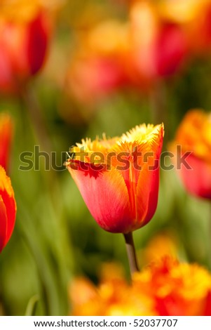 Flower bed of beautiful fresh tulips in a garden - stock photo