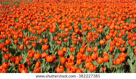 Flower bed of bright orange-red tulips at Spring time