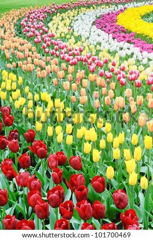 Flower bed of multicolored tulips, Keukenhof, the Netherlands - stock photo