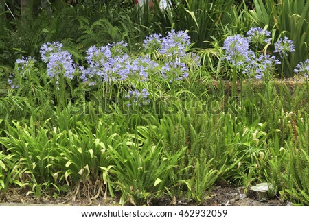 Flower bed of purple agapanthus flowers