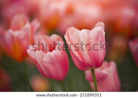 Flower bed of tulips in spring garden - stock photo