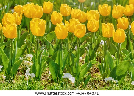 Flower Bed of Yellow Tulip Flowers - stock photo