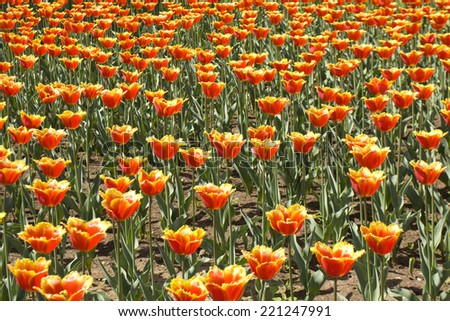 Flower bed with many tulips of red colour. - stock photo