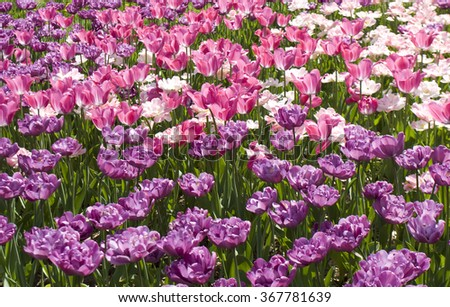 Flower bed with many ulips of pink and violet colours. - stock photo