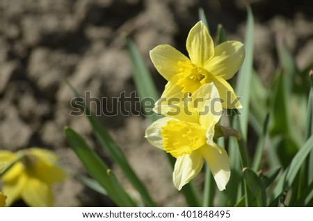 Flower bed with yellow daffodil flowers blooming in the spring - stock photo