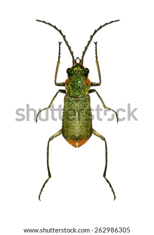Flower beetle on a white background  - stock photo