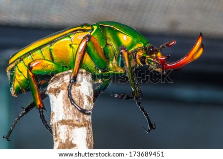 Flower beetle with big horns sitting on the branch (eudicella woermanni) - stock photo