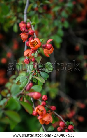 flower blossoming Cydonia oblonga - stock photo