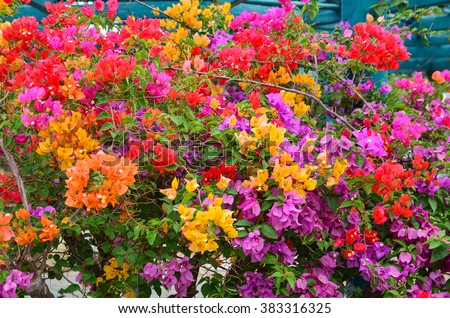 Flower Bougainvillea, Nong nooch botanical garden, decorative flowerbed, multicolored blooming tree, Thailand - stock photo