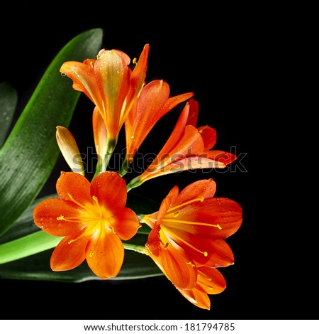 Flower Bouquet of Lily Clivia close up card isolated on black background - stock photo