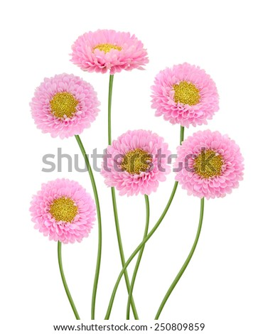 Flower branch: Aster pink flowers - stock photo