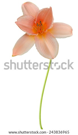 flower branch: bright yellow day lily flower isolated on white