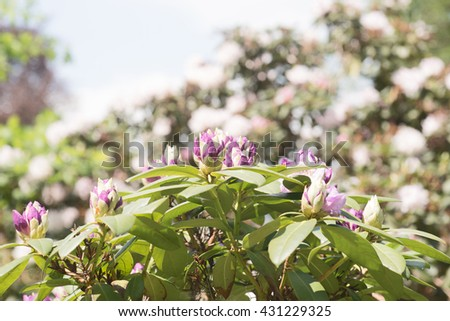 Flower bud begins to bloom on a rhododendron bush - stock photo