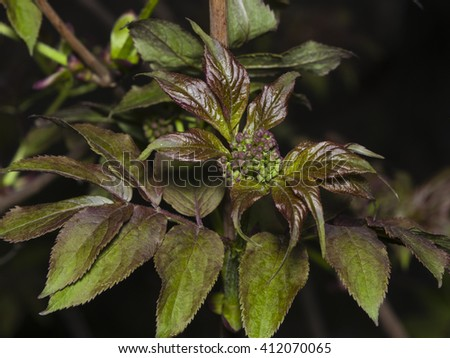Flower bud of red elderberry, Sambucus Racenosa, on branch with bokeh background macro, selective focus, shallow DOF - stock photo