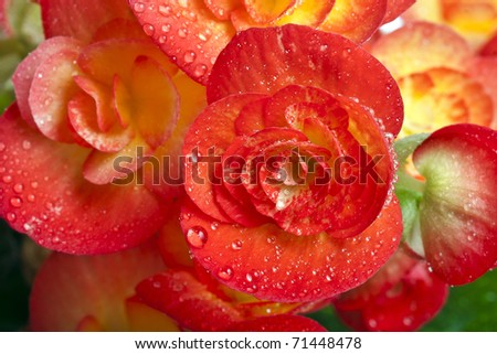 Flower buds of a begonia with water drops close up macro  background - stock photo