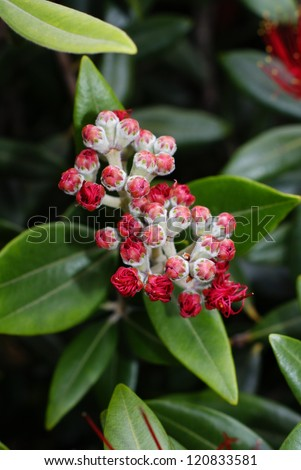 Flower buds of the Pohutukawa (Metrosideros excelsa) a native tree of New Zealand often refered to as the New Zealand Christmas Tree as it flowers in December. Known as rakau rangatira by the Maori. - stock photo