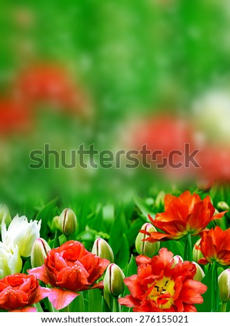 flower buds of tulips - stock photo