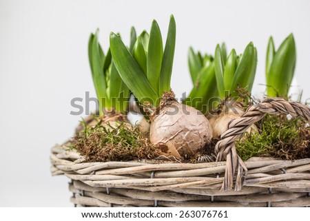 flower bulbs in a basket - stock photo