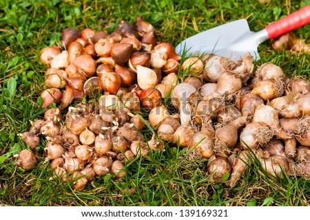 flower bulbs in the garden - stock photo