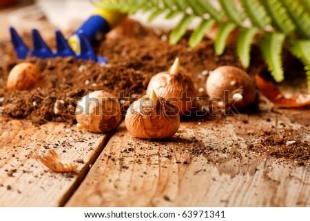 flower bulbs on the table - stock photo