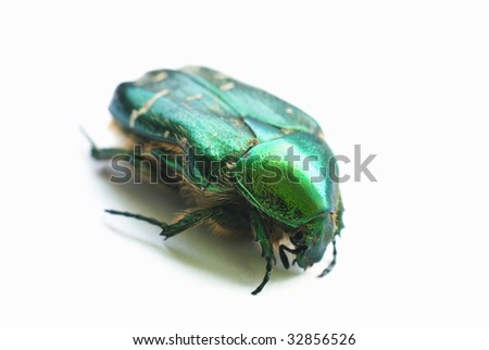 flower chafer isolated on white