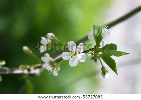 Flower cherry - stock photo