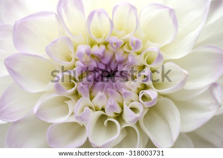 flower chrysanthemum close-up - stock photo
