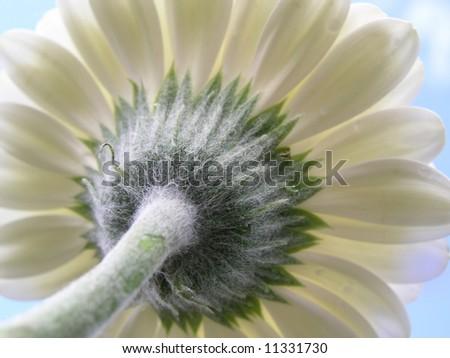 Flower_close-up white gerber against blue sky - stock photo