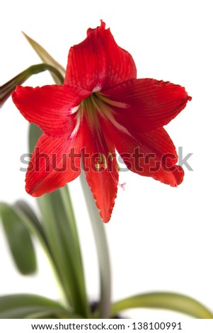 Flower composition. Beautiful red flower on a white background - stock photo