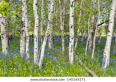 flower cover the ground under a grove of Aspens - stock photo