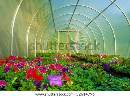 Flower cultivation in Greenhouse. Petunia grandiflora seedlings. - stock photo