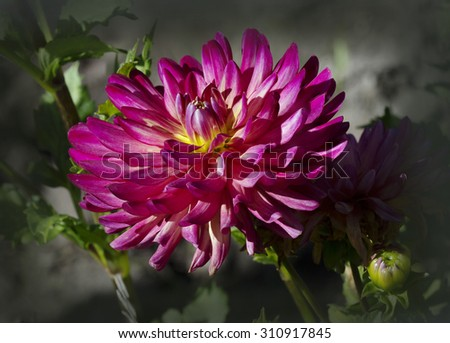 Flower Dahlia crimson Dahlia - beautiful, reliable, long blooming plants with a wide range of colors of flowers and a variety of forms. Dahlias with their abundant blooms will adorn any garden style. - stock photo