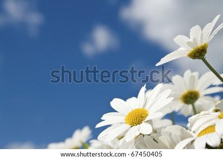 Flower, daisy against blue summer sky. - stock photo