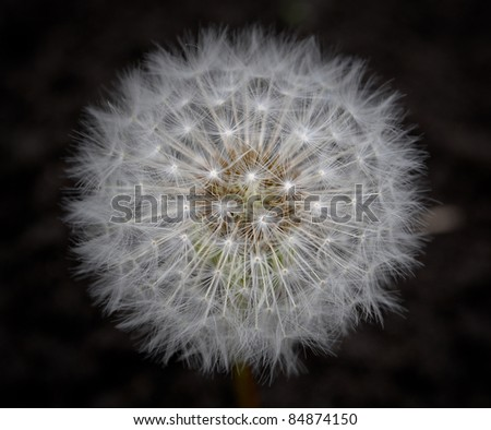 Flower dandelion - stock photo