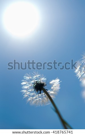 flower dandelion in green field