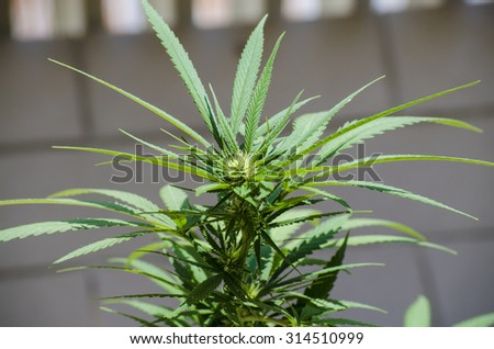 Flower detail of marijuana cultivated naturally before harvest - stock photo