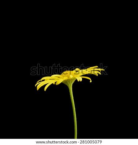 flower Doronicum - stock photo