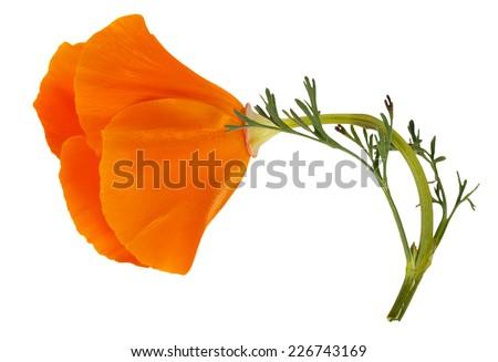 Flower Eschscholzia californica (California poppy, golden poppy, California sunlight, cup of gold) isolated on white background - stock photo