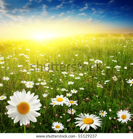 Flower field and beautiful sunset. - stock photo