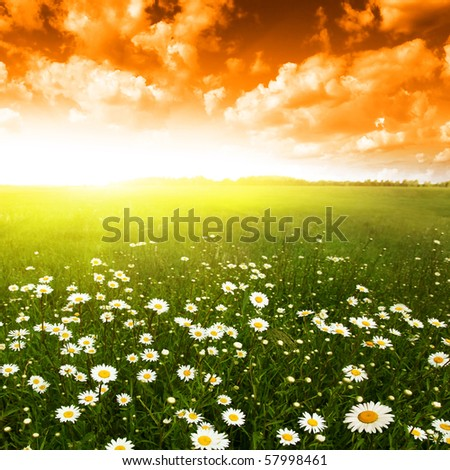 Flower field at sunset. - stock photo