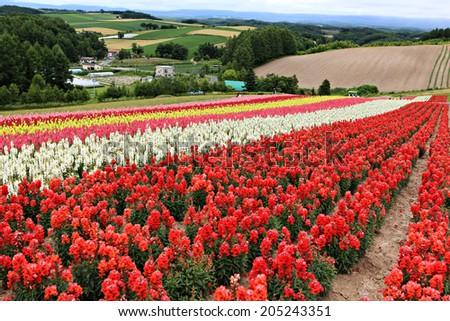 flower field in Hokkaido. - stock photo